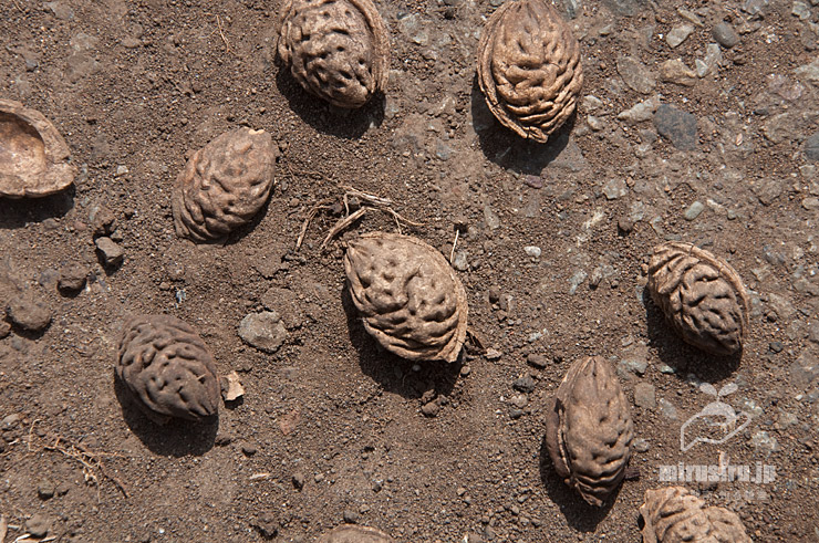 ハナモモの地面に落ちていた古い種子 茅ケ崎里山公園 2021/03/19