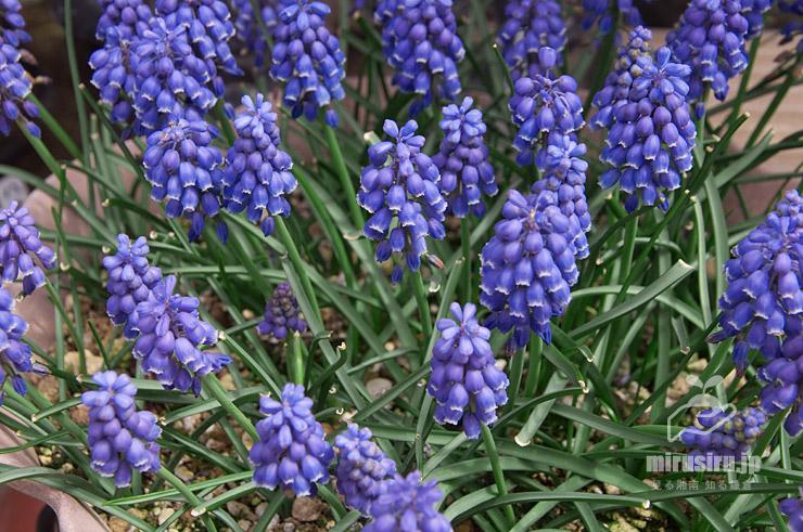 初春に葉を刈りこんだムスカリ 茅ヶ崎市浜之郷 2021/03/20