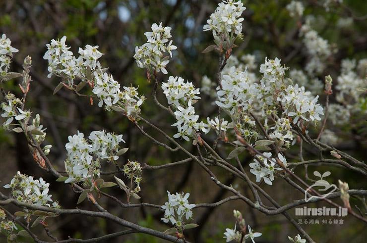 ジューンベリー、開花時の葉はまだ開きかけ 横浜市戸塚区・俣野別邸庭園 2021/04/01