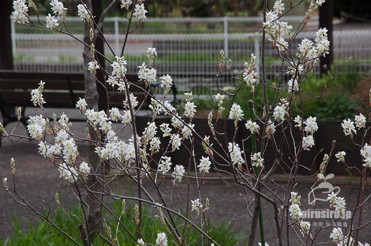 ジューンベリーの若木 鎌倉市・フラワーセンター大船植物園 2021/04/03