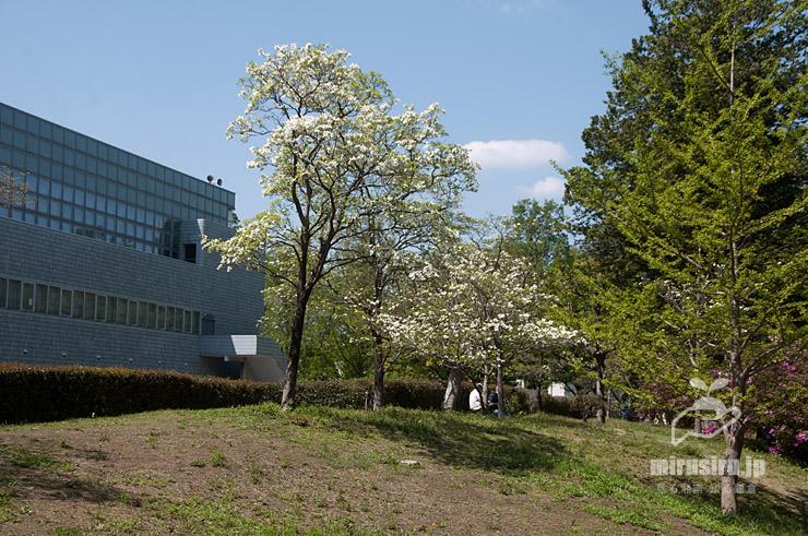 ハナミズキ 平塚市・総合公園 2021/04/11