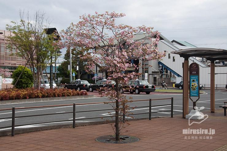ハナミズキ JR相模線「寒川」駅北口 2021/004/16