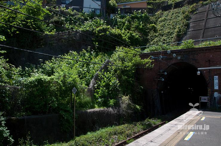 線路沿いに生えたハナウド(◇9の裏手) JR横須賀線「田浦」駅・(西)田浦トンネル側 2021/04/20