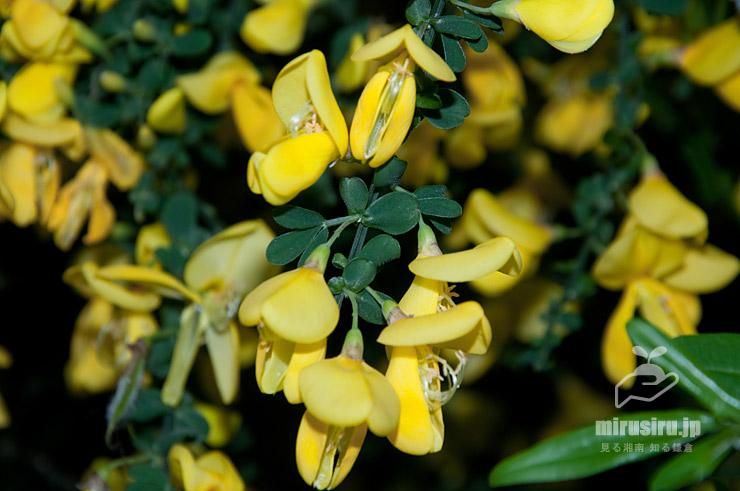 葉と花が混じるように咲くエニシダ 茅ヶ崎市・中央公園 2021/04/20