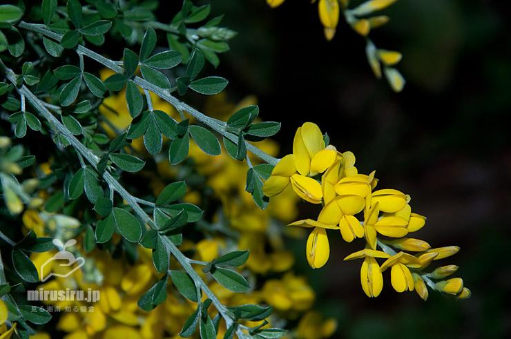 葉と花が完全に分離して咲くヒメエニシダ 茅ヶ崎市・中央公園 2021/04/20