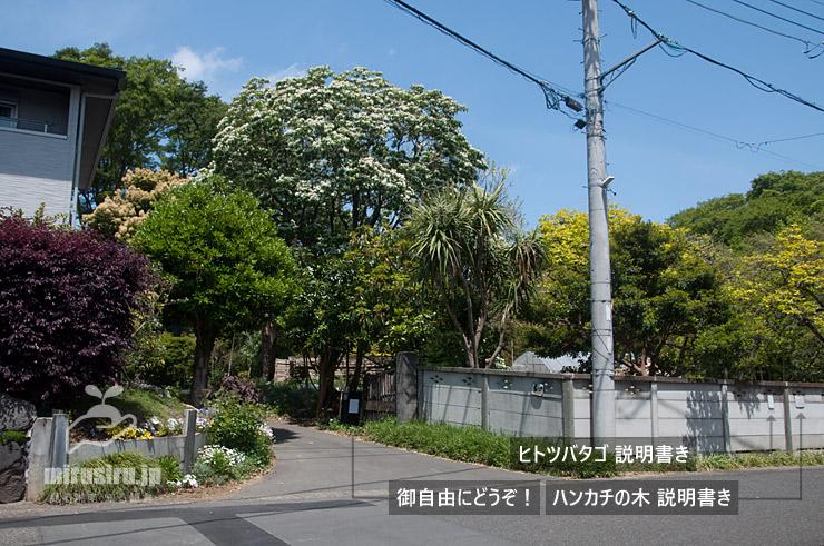 満開のヒトツバタゴ 寒川町宮山 2021/04/27