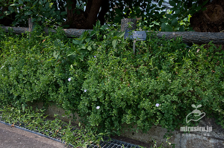 もさもさ茂ったコンボルブルス・サバティウス(咲き終わり) 鎌倉市・大船フラワーセンター 2020/08/01