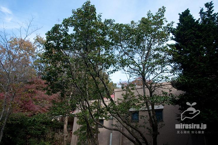 ソヨゴにしては大きな木 横浜市栄区・上郷・森の家別館 2020/11/30