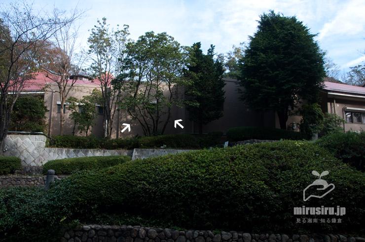 ソヨゴにしては大きな木(白色矢印) 横浜市栄区・上郷・森の家別館 2020/11/30