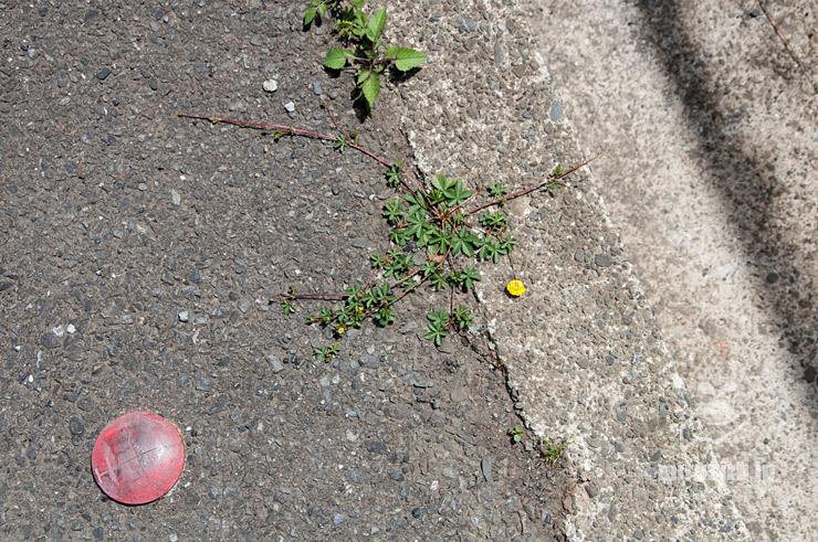 アスファルトの隙間から生えたポテンティラ・レプタンス 横浜市緑区いぶき野 2021/05/04