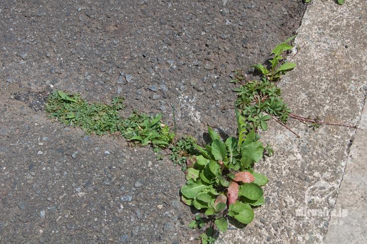 アスファルトの隙間から生えたポテンティラ・レプタンス(左側の方も) 横浜市緑区いぶき野 2021/05/04