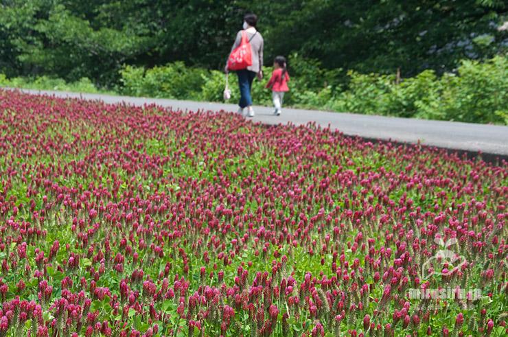 田んぼに群生したクリムソンクローバー 横浜市緑区いぶき野 2021/05/04