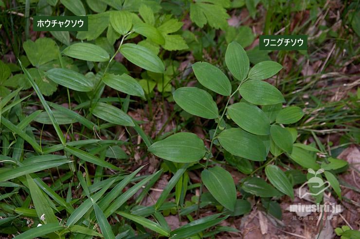 ホウチャクソウとワニグチソウ 横浜市緑区・四季の森公園 2021/05/04