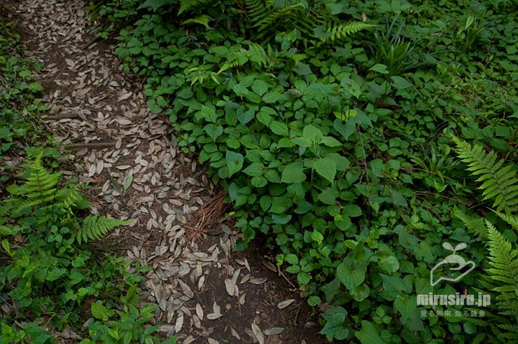 丘陵の斜面を這ったツタウルシ 横浜市緑区・四季の森公園 2021/05/04