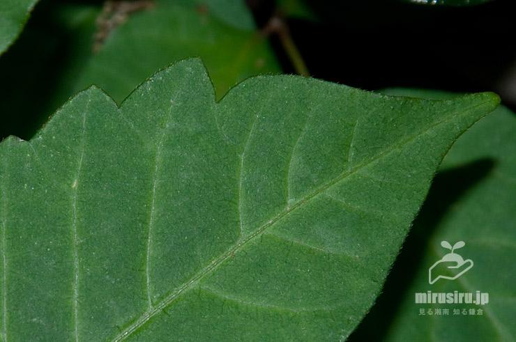 ツタウルシの幼木の葉 横浜市緑区・四季の森公園 2021/05/04