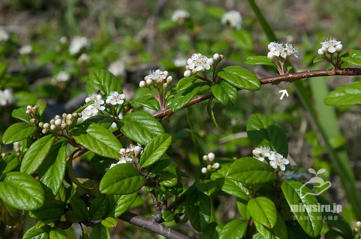 匍匐性のコトネアスター、茎にはトゲあり(白色矢印) 藤沢市・神台公園 2021/05/06