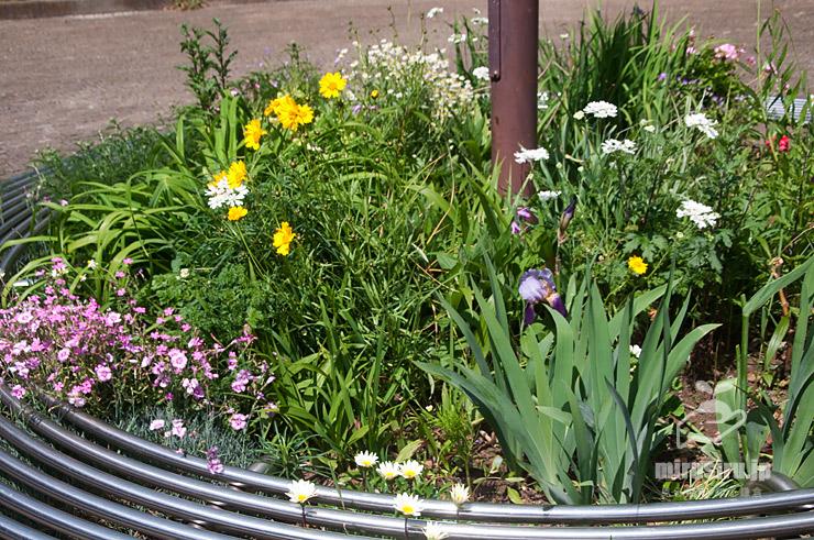 公園の花壇に植えられていた(違法です)オオキンケイギク 茅ヶ崎市・**公園 2021/05/10