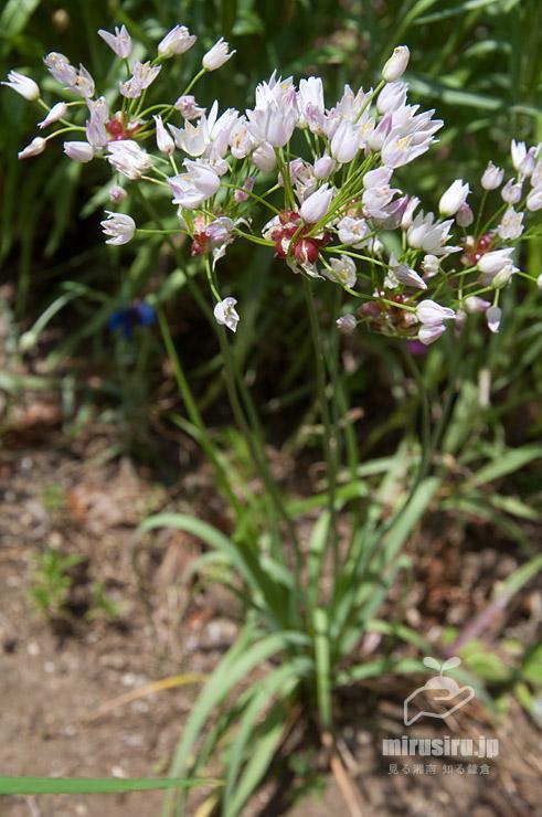 花壇に植えられたアリウム・ロゼウム 茅ヶ崎市・中央公園 2021/05/10