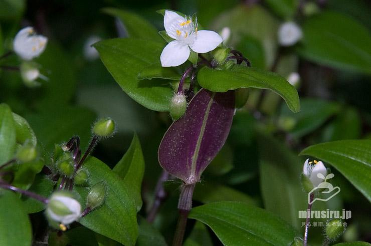 トキワツユクサ(ノハカタカラクサ)の茎上部の紫色の葉裏 大学受験ステップ茅ヶ崎校 2021/05/12