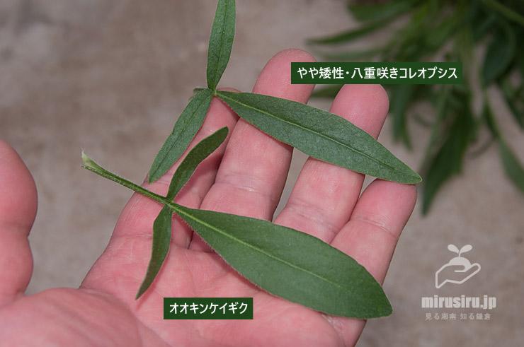 オオキンケイギクとやや矮性・八重咲きコレオプシスの葉の比較 茅ヶ崎市浜之郷 2021/05/20