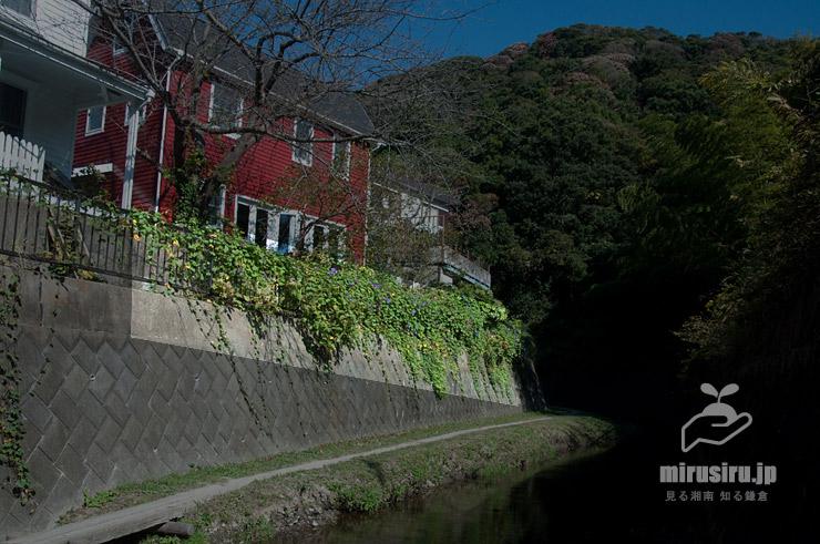 フェンスに絡ませて栽培されたノアサガオ 横須賀市・前田川遊歩道 2020/10/29