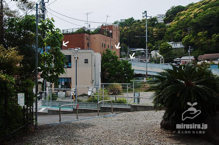 アオギリ(白色矢印の3本) JR東海道本線「大磯」駅南口 2021/05/08