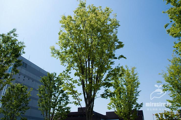 ムサシノケヤキの横に広がらない樹形 茅ヶ崎市役所 2021/05/10