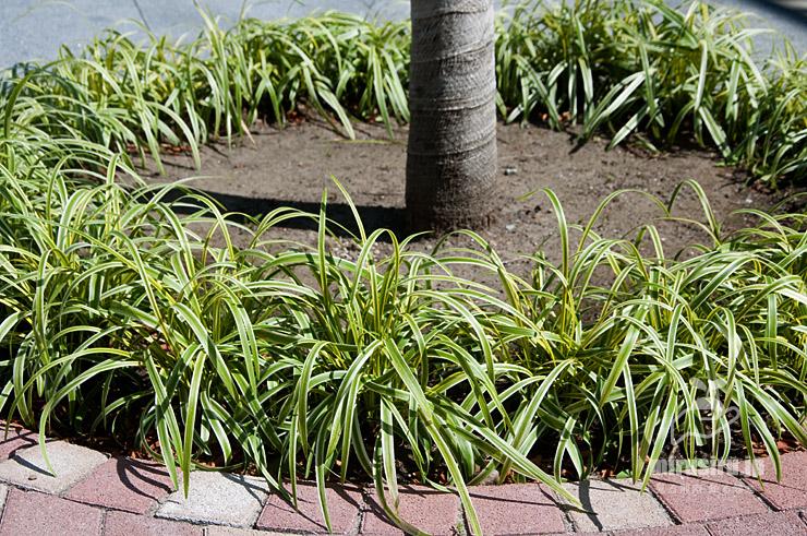 植桝の囲いとして植栽された斑入りヤブラン 茅ヶ崎市役所 2021/06/01