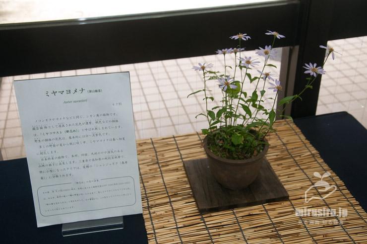 ミヤマヨメナ 横浜市南区・こども植物園 2021/06/12