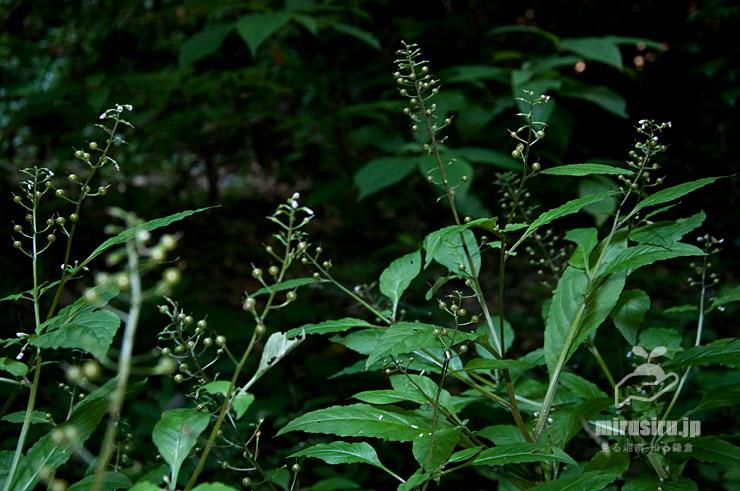 ギンレイカ(ミヤマタゴボウ)の咲き終わり 大磯町・高麗山公園 2021/06/18