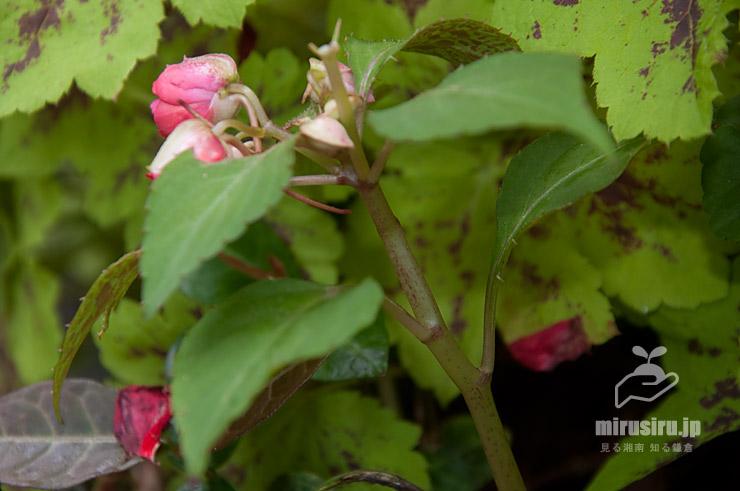 インパチェンス('カリフォルニアローズ'か)の、ホウセンカのような質感をした茎 横浜市戸塚区・俣野別邸庭園 2021/06/22
