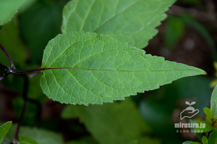 ソバナの茎下方の葉には長めの柄(え)がある 横浜市戸塚区・俣野別邸庭園 2021/06/22