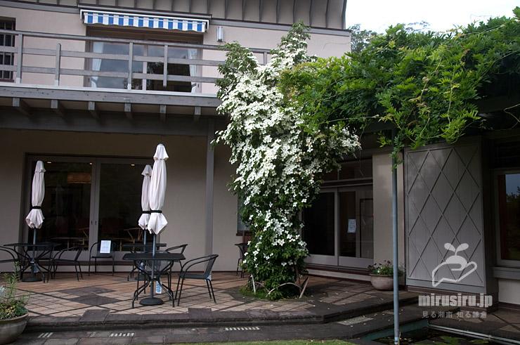 ジョウリョクヤマボウシ 横浜市戸塚区・俣野別邸庭園 2021/06/21