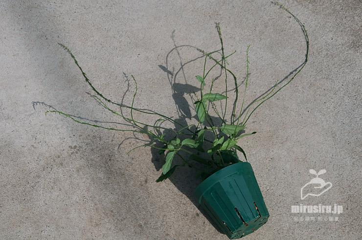 ナガバハエドクソウの草姿(花軸はもっと長くだらしなく伸びる) 茅ヶ崎市浜之郷 2021/06/25
