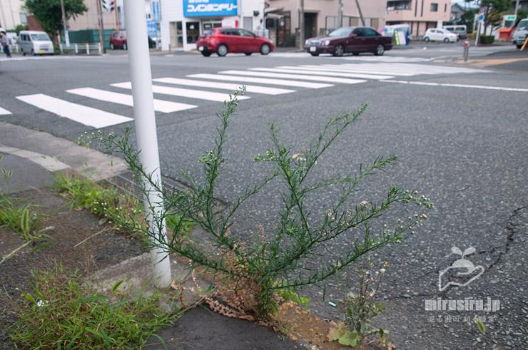アレチノギクの模範的な草姿 平塚市平塚 2021/06/28