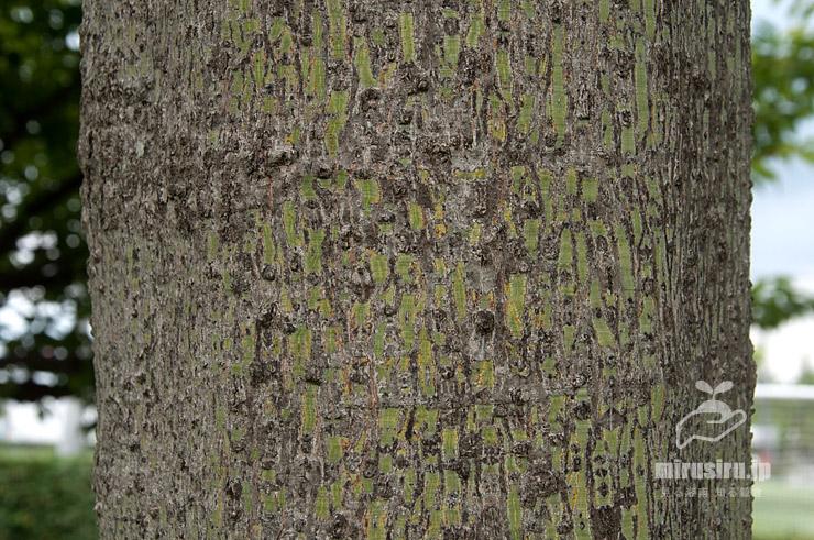 アオギリの緑色が減った幹(樹皮) 平塚市・馬入ふれあい公園 2021/06/28