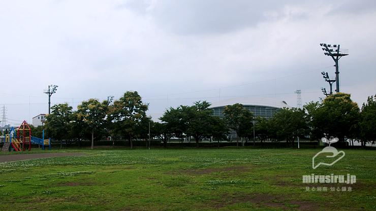 開花中のアオギリ 平塚市・馬入ふれあい公園 2021/06/28