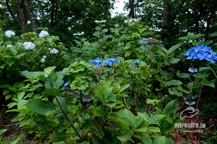 アジサイ葉化病に罹ったガクアジサイ(花の緑化、葉の変色、樹勢劣化) 湯河原町 2017/07/03