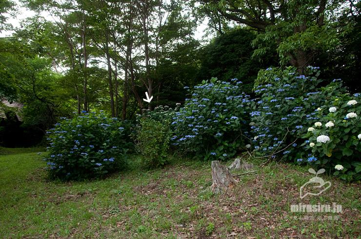 アジサイ葉化病に罹ったアジサイ(白色矢印、花の緑化、樹勢劣化) 湯河原町 2017/07/03