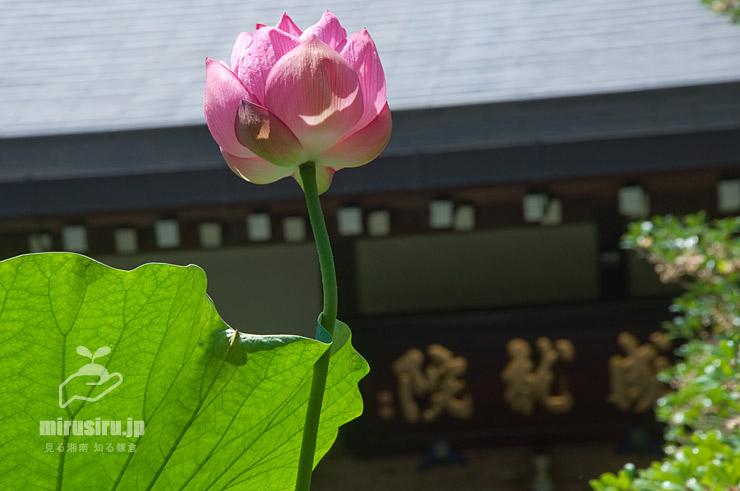 開花二日目の(閉じかけの)ハス 鎌倉市・成就院 2017/07/07