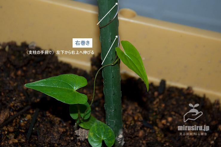 むかごから発芽してまだ若い#ヤマノイモの互生する葉、蔓は右巻き 茅ヶ崎市浜之郷 2019/07/08