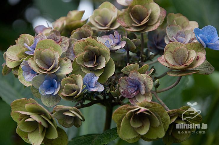 参考)ガクアジサイの緑色を帯びてきた咲き終わりの花(正常) 茅ヶ崎市矢畑 2019/07/26