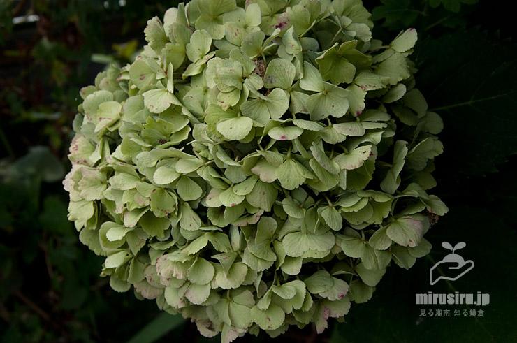 参考)テマリ咲きアジサイの緑色をした咲き終わりの花(正常) 茅ヶ崎市萩園 2020/08/07