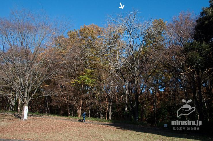 冬枯れしたニワウルシ(シンジュ、白色矢印) 相模原市南区・相模原公園 2020/12/08