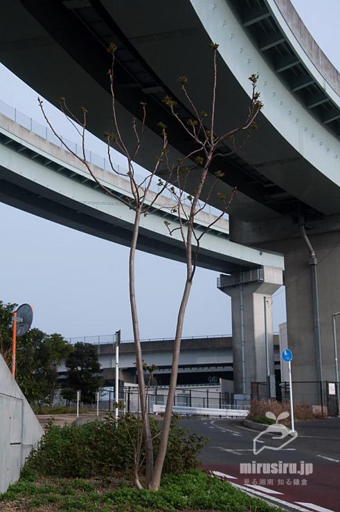 ニワウルシの展葉 茅ヶ崎市西久保・新湘南バイパス 2021/03/30