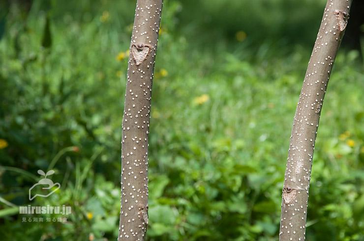 ニワウルシ(シンジュ)の幼木の幹(樹皮)と葉痕 二宮町・吾妻山公園 2021/04/07