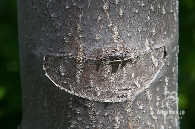 若いニワウルシ(シンジュ)の幹(樹皮)と葉痕 茅ヶ崎市西久保・新湘南バイパス 2021/04/30