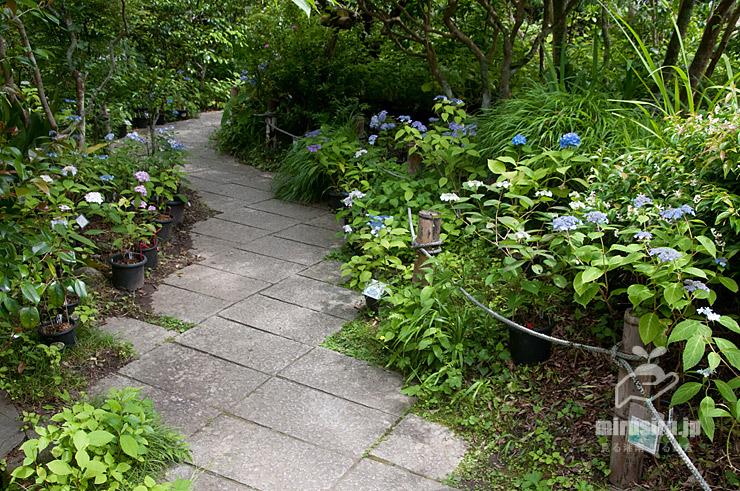 境内に置かれた鉢植えのヤマアジサイ 鎌倉市・光則寺 2021/05/24