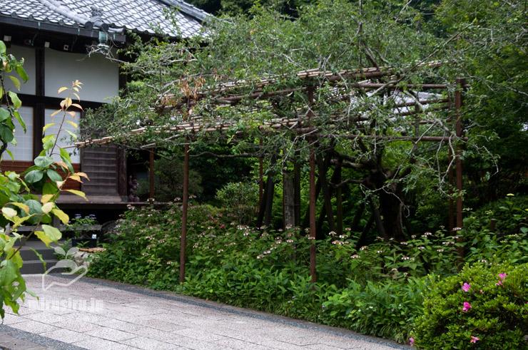 ヤマアジサイ('清澄沢') 鎌倉市・光則寺 2021/05/24
