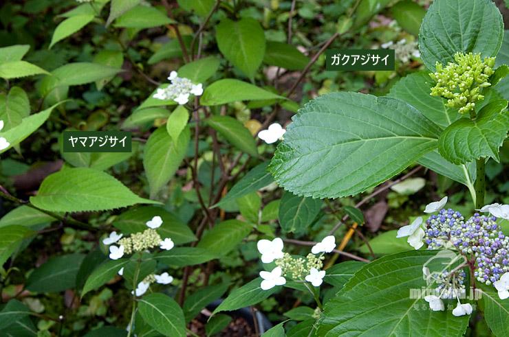 ヤマアジサイとガクアジサイの葉の雰囲気の違い 鎌倉市・光則寺 2021/05/24